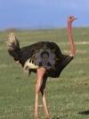 روغن شتر مرغ اصلی