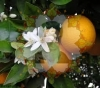 بهار نارنج