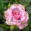 گل محمدي اعلاء